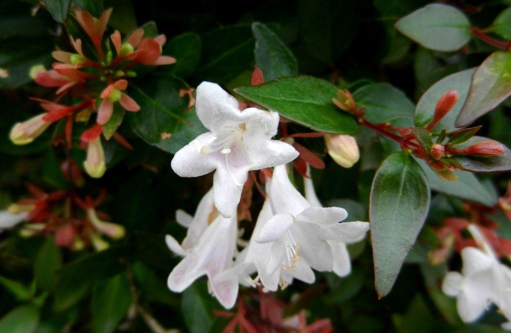 Абелия крупноцветковая Abelia grandifolia