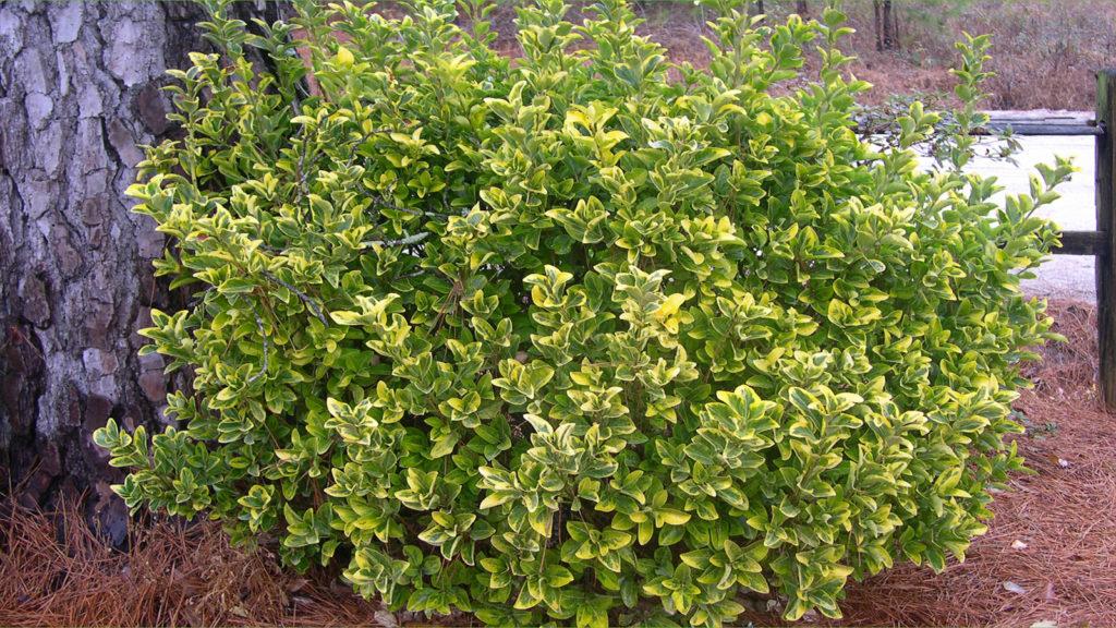 Бересклет японский Euonymus japonicus