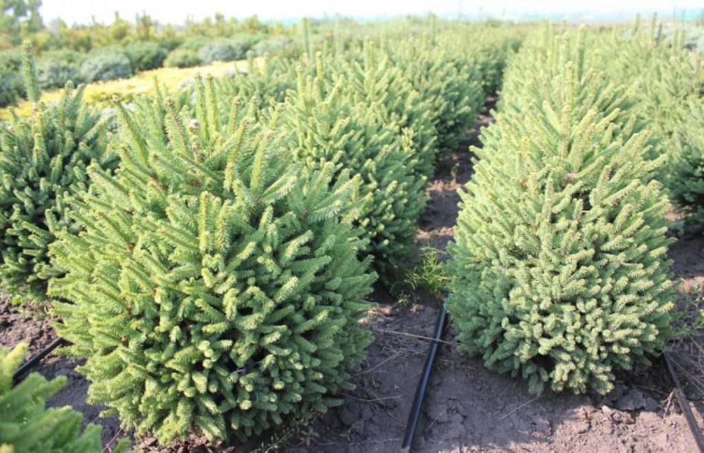 Eль обыкновенная `Компактная` Picea abies cv. Compact