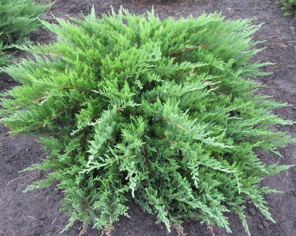 Можжевельник казацкий  Juníperus sabína