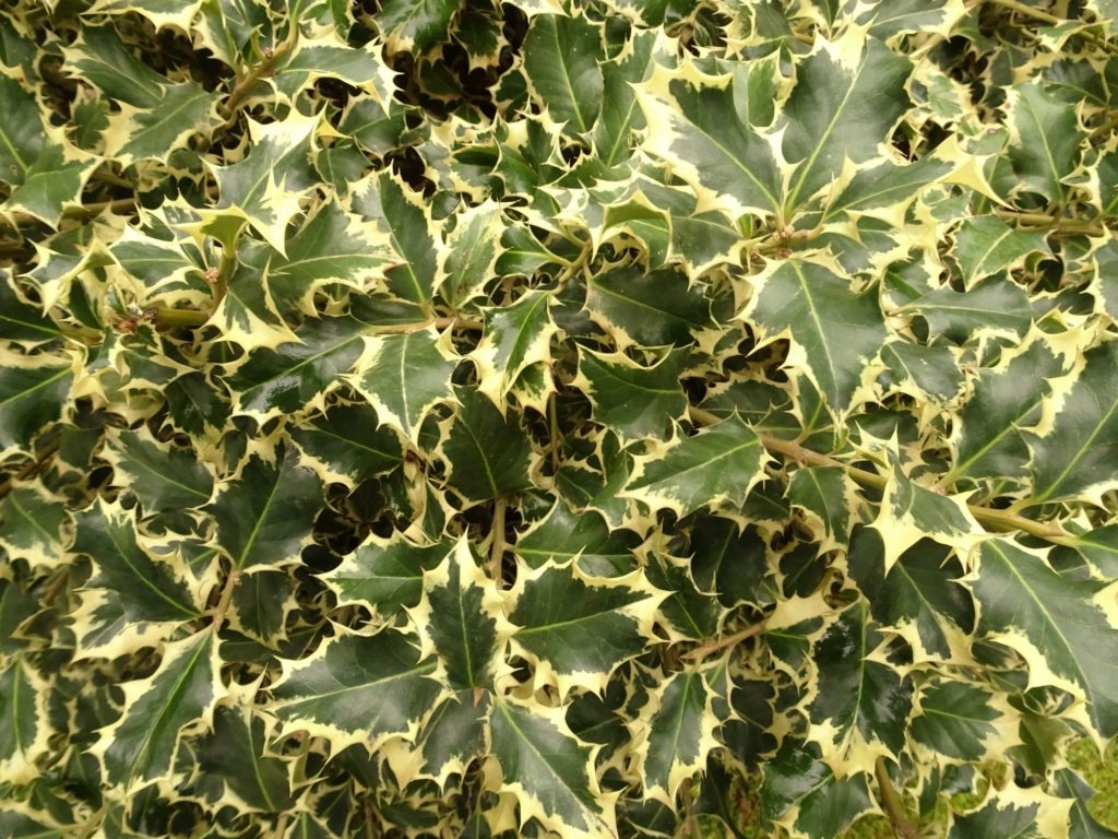 Османтус разнолистный `Пестрый` Osmanthus heterophyllus Variegatus