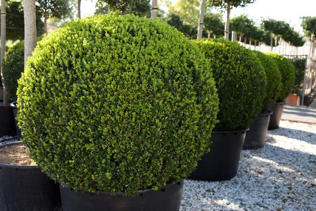 Самшит вечнозелёный Búxus sempervírens
