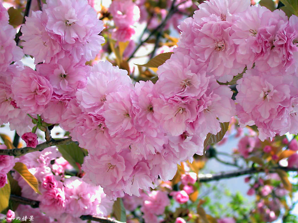 Вишня Лана `Райская сакура` Cérasus lannesiana cv. Yedo-sakura