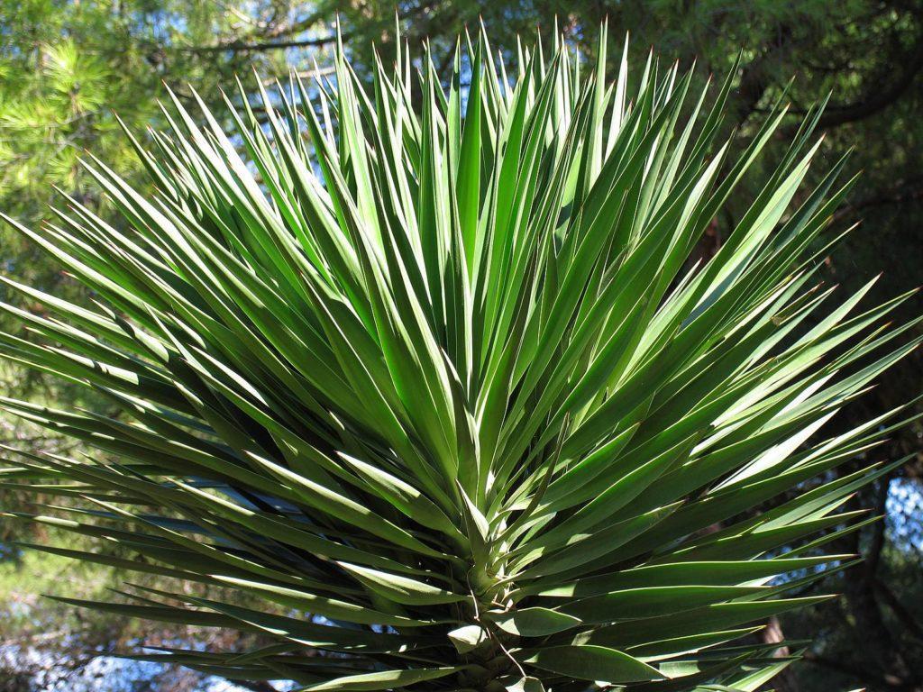 Юкка славная Yucca gloriosa