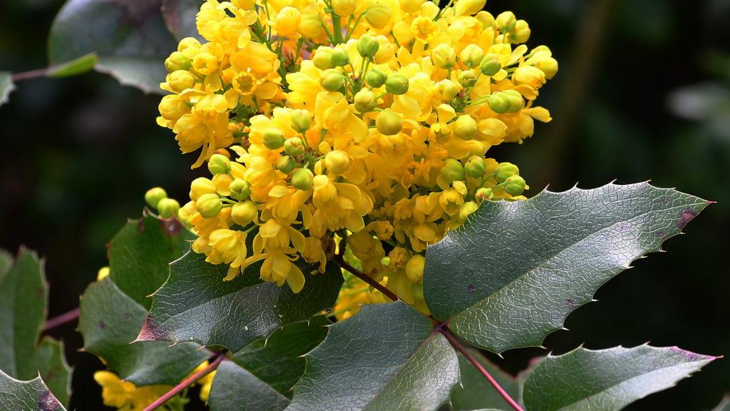 Магония японская Mahonia japonica